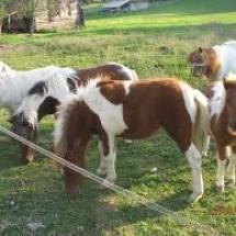 poni-konji