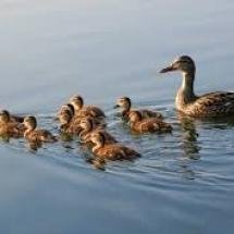 divlje-patke