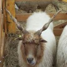 madjarske-ovce