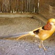 zlatni-fazan